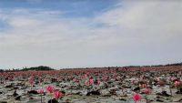 তাহিরপুরের লাল শাপলা মন কাড়ছে পর্যটকদের