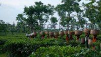শ্রীমঙ্গলে ৭ দফা দাবি আদায়ে চা শ্রমিকদের মানববন্ধন